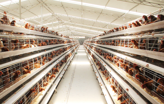 Chicken poultry farming management
