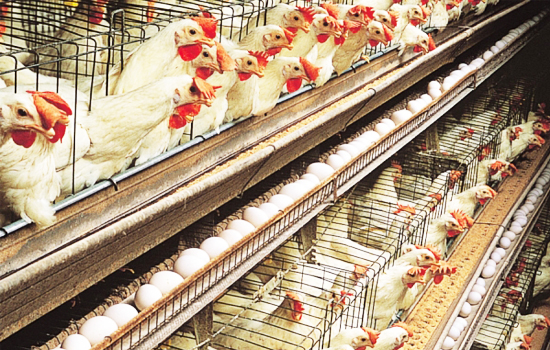 precaution of breeding hens in cage